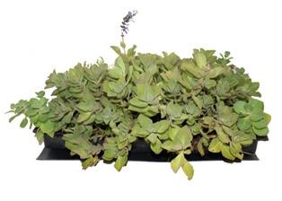 pelego vegetado telhado verde sistema alveolar leve