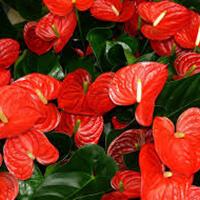 Antúrio Plantas Ecoparede