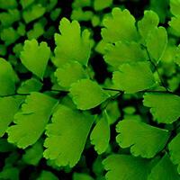 Avenca Plantas Ecoparede