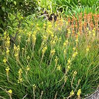Bulbine Plantas Ecoparede