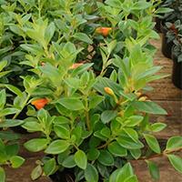 Columéia Peixinho Plantas Ecoparede