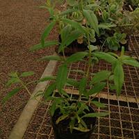 Erva Cidreira Plantas Ecoparede