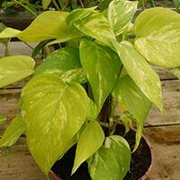 Jibóia Plantas Ecoparede