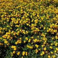 PLANTA PARA JARDIM VERTICAL Lantana Plantas Ecoparede