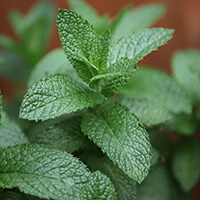 PLANTA PARA JARDIM VERTICAL Mentha Spicata Plantas Ecoparede