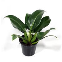 Pacová Plantas Ecoparede