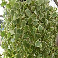 Peperomia Filodendro Plantas Ecoparede