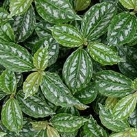 PLANTA PARA JARDIM VERTICAL Pilea Plantas Ecoparede