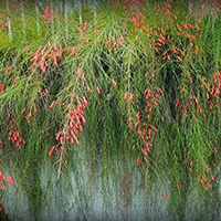 Russélia Plantas Ecoparede