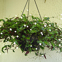Véu de Noiva Plantas Ecoparede
