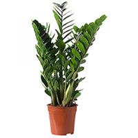 Zamioculcas Plantas Ecoparede