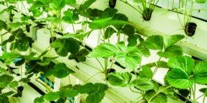 plantas hidropônicas