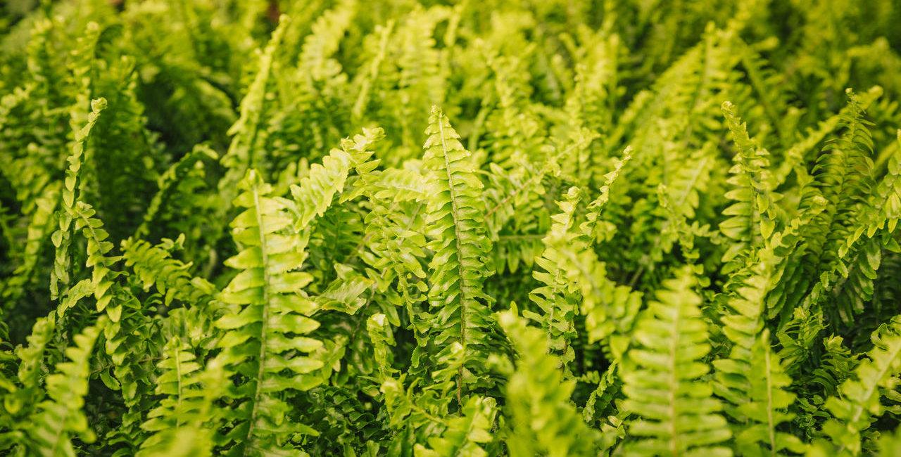 plantas-verdes-parede-de-samambaia