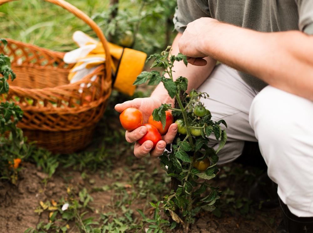 homem plantando tomates em uma horta vertical