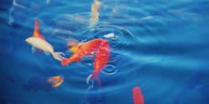 vários peixes para lago na cor laranja