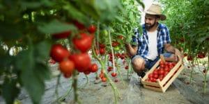 homem colhendo tomates na horta ilustrando o que é agroecologia